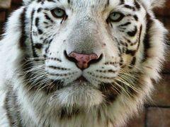 東武動物公園-2 ホワイトタイガー:寅年に参上 ☆ライオン舎も新しく