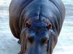 東武動物公園-3 カバは寒い方が活動的 ☆ゾウのランチタイムも