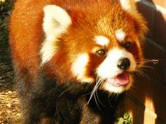 東武動物公園-6 レッサーパンダは愛嬌もの ☆木登りは撮れず