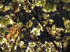 近くて遠いかと思ってた所沢の航空公園(2)花びら餅でお茶した日本庭園とここに目をつけたきっかけのロウバイ園