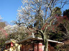 春です!熱海梅園で梅も桜も水仙も!!