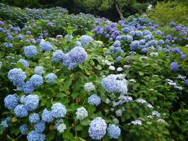 出張ついでに福知山の紫陽花寺と綾部のグンゼ博物館に行きました。