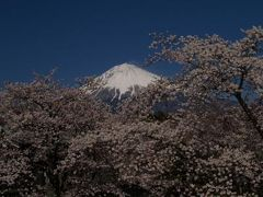 大石寺の桜と富士山-2008年
