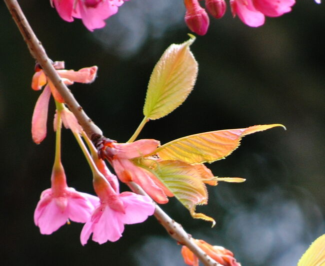 Japan  小平グリーンロード 河津桜とあそんで ~ミツバチばあやの冒険~