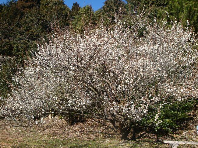 相良に梅園があると聞く。<br />梅園を探しに行ってまいりました。<br /><br />まずは大井川河口野鳥園、吉田公園、静波海岸とR150を西に走ります。<br /><br />相良梅園は「自然のまんま」のキャッチコピーそのまま、自然に枝が伸びていて大きな木でした。<br /><br />梅を楽しみ、御前崎までドライブ、暖かな1日をすごしました。