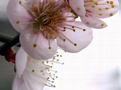 ひとり旅 [686] あたたかくなりました~ちょっと梅の花を愛でに♪<八木梅林公園>広島市安佐南区