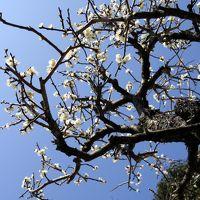 ひとり旅 [687] 梅の香りが漂う梅まつり~梅の花が満開でした♪<冠山総合公園 梅の里>山口県光市