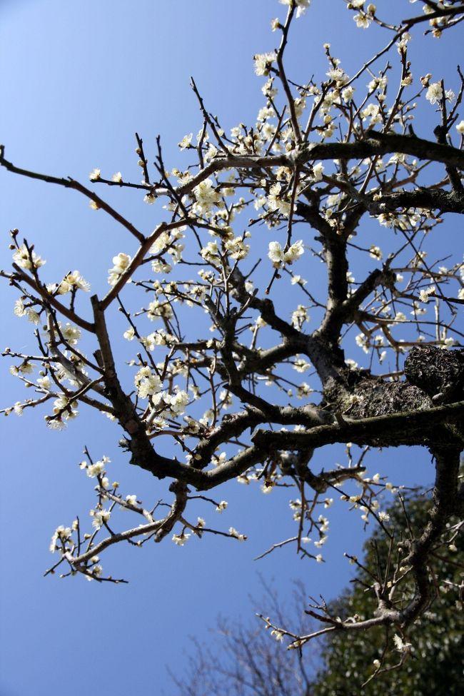 ◆冠山総合公園'梅の里梅まつり'(山口県の光市)<br /><br /> 花の季節の2月から3月初めには,赤や白,薄紅の花が咲き誇る園内で「梅まつり」も催され、瀬戸内海が見渡せる丘に、100種・約2000本の梅が咲き誇ります。<br /> 梅まつりは2/7(日)~3/7(日)。<br /><br />【手記】<br /><br /> 遠~い遠い昔、山口県の光市方面へは近くに友人が居たため妻とよく遊びに行っていました。光市は昨年の6月に訪れましたが、下松市の笠戸島は久しぶりの訪問でした。<br /><br /> わたくし、有り難いことにこの不況の中、休みなしの忙しい・忙しい毎日を、、、なんとか無事?に過ごさせていただいております。(^^;)<br /><br /> 今年に入ってからというものは、お勤めの方がなんやかんやとありまして、丸一日フル休暇は2/6の一日だけ。体力低下とともに一時の半分も仕事していないんですけれども、やはりグロッキー状態のやばい状態・・。やっぱり歳なんですネエ。<br /><br /> 本日も日曜日でしたが、午後1時までお勤め。午後から時間の有効利用?で、わずか~な時を見つけて、スーツ&ネクタイの勤務スタイル(^^;)のまま、光市の冠山総合公園まで片道85Km、ゆっくり、のんびり、愛車をぶっ飛ばして =3=3 ^.^;)'梅の里梅まつり'へ行ってまいりました。満開の梅の花がとてもきれいでしたよ~♪。<br /><br /> まあ、ここ数年は午後からでもこうして自分の時間がとれますのでありがたいことではあります。<br /><br /> またまたお笑いです…帰宅後、異様な疲れのために食事もせずにちょっと寝込んでしまいました・・まっ、いつものことですが,,,フーーッ!(´へ`;)・・・<br /><br />◆今回のルート<br /> 冠山総合公園梅の里梅まつり(光市)→笠戸島の河津さくら(下松市)<br /><br />