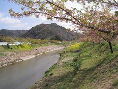 菜の花と保田川のさくら路 中橋~荒田橋