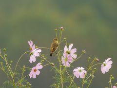 巾着田で鳥撮影