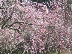 津山、梅の花と温泉