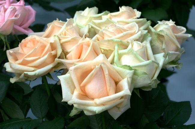 2010年開催のフラワードーム紹介の続きです。 バラを使ったフラワーディスプレーと、バラの切花を使った品評会の紹介です。<br /><br />