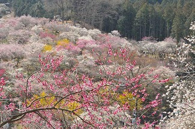 春らんまん 吉野梅郷を訪ねて。...
