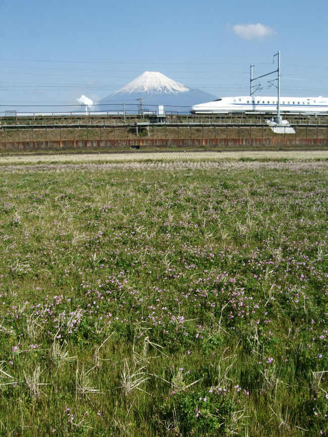 昨日の早朝の暴風雨から1日が経過した今朝の富士山を新幹線と一緒にしない中里で撮ってきました。<br />田んぼにはレンゲも咲いていました。