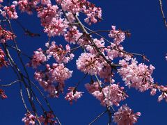 尾道 天寧寺のしだれ桜