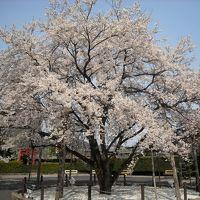 2010年の桜その4~犬山、138リベンジ、薄墨桜2世~