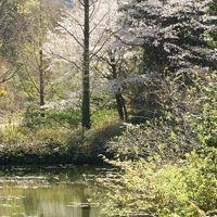 モネの庭のチューリップ