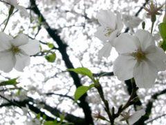 2010年 目黒川の桜。