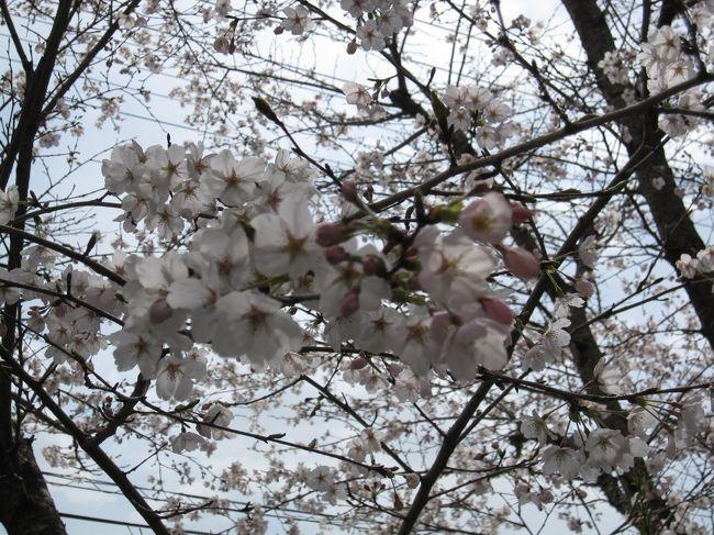 【近場の桜を巡回するちょこっとドライブ】<br />やっと桜が満開の時期を迎えたようだ。幸いなことに雨が降らない週末、となれば、やっぱり花見ドライブでしょ!近場の桜を車中から眺めながら短時間で巡ってみようと自宅を出発した。<br /><br />【メンバー】<br />母と。<br /><br />【ルート】<br />自宅−<府道18他>−樟葉東公園−<京都府道251・R307他>−ひらかた動物霊園<br />−<R307・府道17他>−牧野公園−自宅<br /><br />【表紙の写真】<br />ひらかた動物霊園の桜。