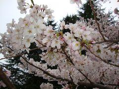 都立小金井公園の桜祭りを散策する