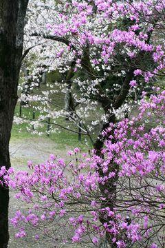 2010春、桜満開の長篠城祉(2):4月3日(2):長篠城址、本丸跡、土塁、稲荷社址の赤鳥居、堅木植樹碑