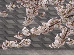 日の出公園の桜並木