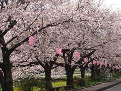沼川沿いの桜並木