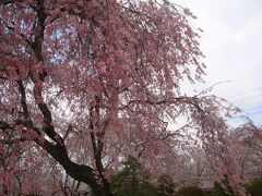 ☆2010花見③ 桜をもとめて富士宮へドライブ