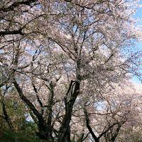 小さな旅●愛知吉良町・黄金堤(こがねづつみ)に咲く桜