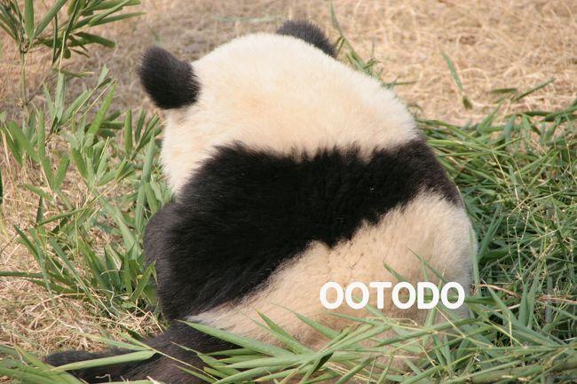 パンダに会いに中国へ行きました。<br />何度見てもパンダちゃんはかわいいです。<br /><br /><日程><br />12/25成田→広州<br />12/26広州→成都<br />12/27成都大熊猫繁育基地見学<br />12/28成都大熊猫繁育基地見学<br />12/29成都大熊猫繁育基地見学<br />12/30成都→上海<br />12/31上海<br />1/1  上海→成田<br /><br /><br />