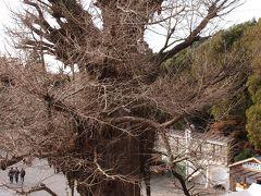 鎌倉鶴岡八幡宮の大銀杏