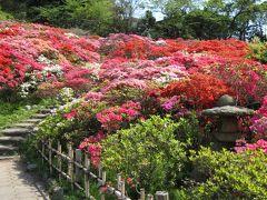 葉山 花の木公園では「キリシマツツジ」満開!