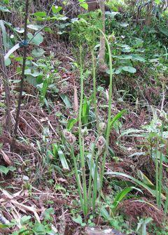 佐倉市散策(19)・・北総台地に山菜・木の実を訪ねて