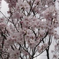 古典桜をめぐる旅 置賜さくら回廊 其の一
