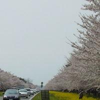 秋田県 大潟村 11キロの菜の花とさくら