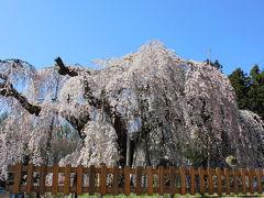 長野 飯綱 ~丹霞郷・シダレザクラ・オオヤマザクラ~花めぐり