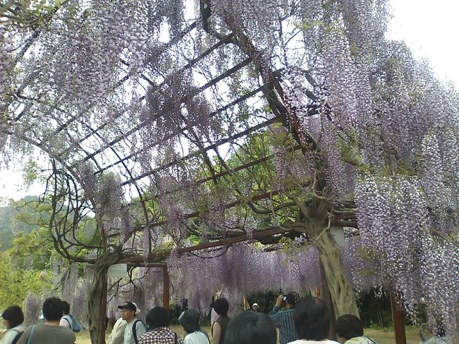 和気町の藤公園はGWが花真っ盛り。<br /><br />あんなに沢山の藤の花(種類も数も)を一度の見たのは初めてでした。