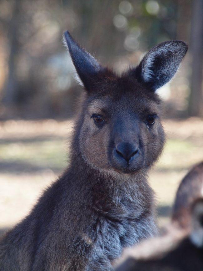 2005年に高熱のため記憶朦朧で来たカンガルー島。<br />今年はリベンジにやってきました。<br /><br />アデレードで1泊した私達は一路カンガルー島へ向かいました。<br />カンガルー島はオーストラリアで3番目に大きな島。<br />その島にオーストラリアの自然や動物がぎっしりと詰まっている島なのです。<br /><br />滞在は3泊4日。<br /><br />大自然に囲まれた島で3泊4日の日程で動物達にあってすごく癒されました。<br />鳥の声で目が覚め、ワラビーの訪問で夕方の時間を知る。<br /><br />自然ってやっぱりすごくいいなぁ。<br />そう感じさせるカンガルー島の滞在でした。<br /><br /><br />~~~~~~~~~~~~~~~~~~~~~~~~~~~~~~~~~~~~~~~~~~~~~~~~~~~~~~~<br />今回の旅の旅行記は2冊です(★が本旅行記の該当部分)<br /><br />  Vol.1/日本出発>アデレード<br />★ Vol.2/アデレード出発>カンガルー島>少々シドニー<br /><br />~~~~~~~~~~~~~~~~~~~~~~~~~~~~~~~~~~~~~~~~~~~~~~~~~~~~~~~<br />☆旅行形態:個人旅行<br />☆航空会社:リージョナルエクスプレス / 日本航空 Cクラス<br />☆ホテル :<br />  ○フリンダースチェイス WILDERNESS VALLEY Resort<br /> ○キングスコート オーロラオゾンホテル<br />☆参考リンク:<br />  ○カンガルー島ガイド http://www.tourkangarooisland.com.au/default.aspx(英語)<br /> ○Wilderness Valley Studio Accommodation http://www.wildernessvalley.com.au/<br /> ○オーロラオゾンホテル http://www.auroraresorts.com.au/<br /> ○カンガルー島案内 http://www.tourkangarooisland.com.au/(英語)<br /> ○リージョナルエクスプレス http://www.regionalexpress.com/ (英語)<br />☆通貨:オーストラリアドル A$1=86Yen<br /><br />-------------------------------------------------------<br />*記事のポリシー→http://4travel.jp/traveler/suzuka/profile/