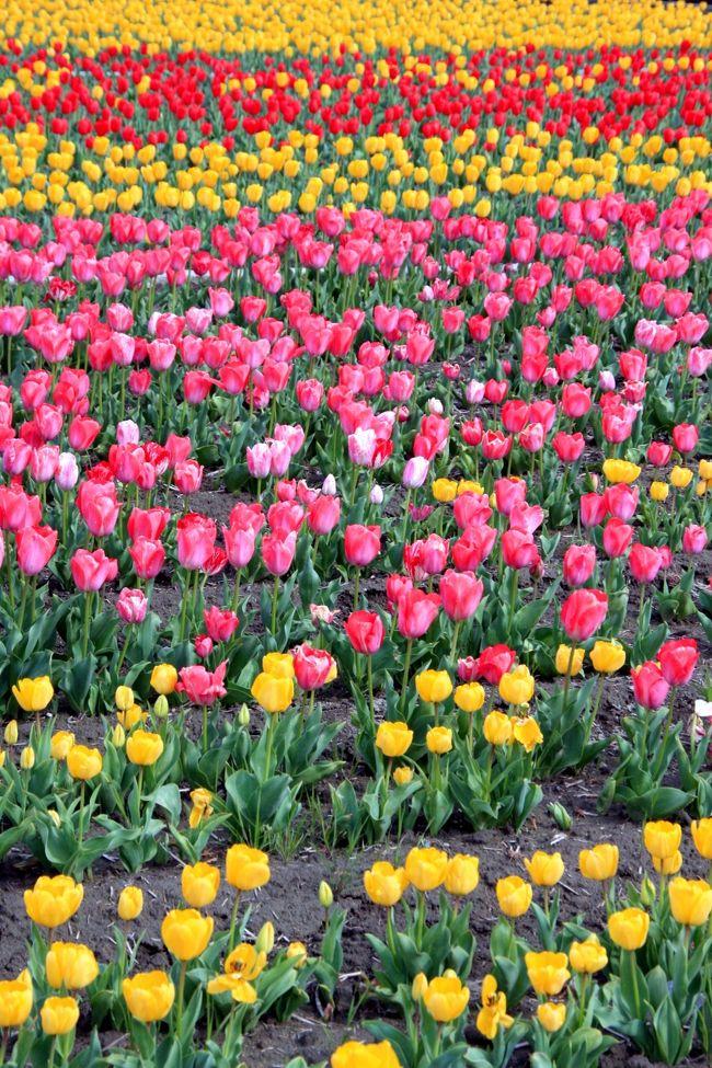 東京都羽村市のチューリップの名所・根搦前水田に行ってきました。<br /><br />根搦前水田は、約40万球ものチューリップが<br />一面に虹色のカーペットを敷き詰めたような、見事な景観と<br />なっていました。<br /><br />