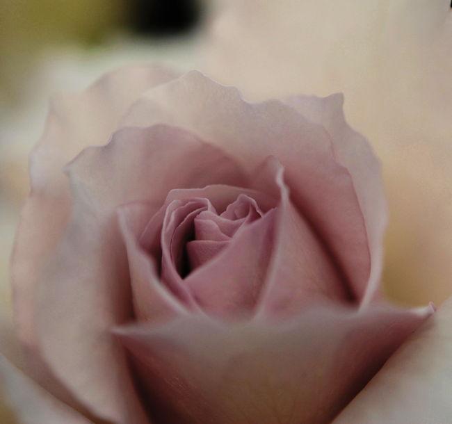 「今年は1枚しかないの。私は行かないから誰か行く?」<br />コクリコさんからのお申し出に図々しくも真っ先に手をあげる唐辛子婆。<br />お内儀連を代表して(*^.^*)いってまいりました。<br /><br />デジイチでお花を練習中でございます。いっぱい撮ったので3編に分けました。こちらは薔薇のアップだけ。<br /><br />公式HP<br />http://www.bara21.jp/index.html<br /><br /><br />表紙はニューウェーブという名前です。<br />この薔薇を見てあの方みたいだと想いだす人がいます。<br />それってとびっきりシアワセなことかも。<br />しっとりと匂いたつように美しく物腰のやわらかさ上品さ<br />エレガントという言葉がピッタリの方。<br /><br /><br />★Japan ~ミツバチばあやの冒険~ サイトマップ<br /> http://4travel.jp/traveler/tougarashibaba/album/10453406/<br /><br />