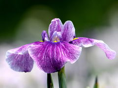 新旭花菖蒲園花しょうぶまつり