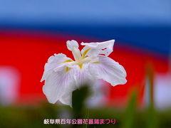 岐阜県百年公園菖蒲まつり 2010