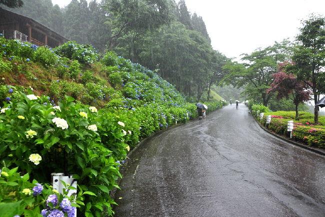 関市となった板取町(旧・板取村)は町の中心を板取川が流れ、<br />洞戸から板取にかけて約24?の街道は【あじさいロード】と呼ばれて<br />約7万本の『雨の花』紫陽花が、迎えてくれます。<br />「アジサイロード」. 日本の道百選にも名を連ねて呼ばれてます。<br /><br />今回は、人を寄せつけないような豪雨..<br />【21世紀の森公園】のあじさいの森には約3万本の紫陽花があり、<br />その路は、川の流れのように化して<br />傘を要しても靴.服など凄い雨に勝てず...びしょ濡れ.<br />何時ものように二台のカメラを持ち出して濡れないように..<br />集中豪雨..大雨注意報も気にせず...ほとんど誰もいない..<br />21世紀の森公園を紫陽花撮りに.....・<br />『関市板取あじさい村』を訪れてみました。<br /><br />過去10年は来てますが.気象からか合併か?<br />町お越しが徐々に衰退の路を歩んでいく姿を観て.とても淋しいです。<br />永年続いた、世界選手権バイクトライアルの灯りが消え<br />そして、 「2009全日本選手権 バイクトライアル中部大会・関板取」が消え。<br />とうとう、何も無く..ただ大雨だけが紫陽花を濡らす・<br />あるは、公園内の特設ステージでは音楽ショーや自然教室などのイベント・<br />人気のあるブログの『関市板取あじさい村』開村<br />http://4travel.jp/traveler/isazi/album/10251004/<br />少し前の<br />http://photo.thi.jp/v/isazi/isazi_001/2006ajisai/<br /><br />『バイクトライアル』<br />THE WORLD BIKETRIAL CHAMPIONSHIP 2008 JAPAN<br />世界選手権バイクトライアル最終戦日本大会・関板取 1<br />http://4travel.jp/traveler/isazi/album/10266491/<br />世界選手権バイクトライアル最終戦日本大会・関板取 2<br />http://4travel.jp/traveler/isazi/album/10267121/<br />2009全日本選手権バイクトライアル第2戦中部大会・関板取<br />http://4travel.jp/traveler/isazi/album/10353105/