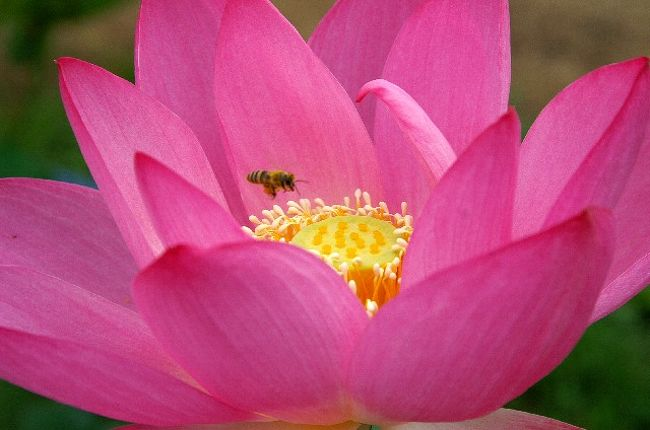 大賀教授の古代ハス発見地「検見川東大グランド」の近く東大農学部付属の「東大植物実験所」のハスが開き始めた。<br /><br />ここは大賀ハスをはじめ、日本のもの、中国、インド、ベトナムなど各地のハスを育成している。<br /><br />この7月15日には恒例の「ハス祭り」が行われるそうです。<br /><br />そのほか稲毛海岸の「花の美術館」でもこの大賀ハスが見ごろとなっているようで、Photo愛好家にはぜひどうぞ!<br /><br />なお、精魂をこめて花の精を写し撮りましたので<<素敵>>と思いでしたらポチを是非どうぞ お願いします。