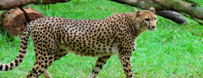 2010 ケニアの首都ナイロビでチータ...