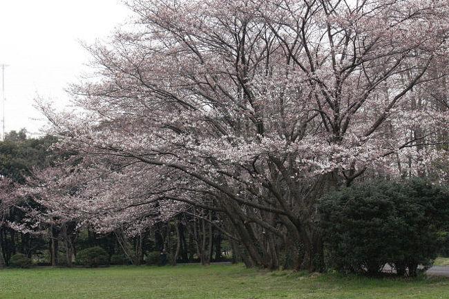鎌倉でバードウォッチングをした帰途、さいたま市の秋ケ瀬公園に立ち寄り、バードウォッチングを楽しみました。<br /><br />表紙写真は、秋ケ瀬公園の桜。<br /><br />※ 2016.11.26 位置情報登録