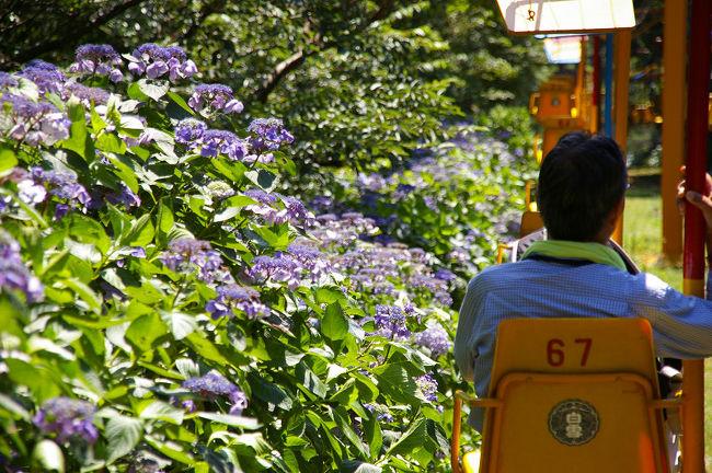 川西能勢口と山下で2度乗り換えて、妙見口駅に10:30に到着。ケーブル前行きのバスは1時間に1本なので、約20分の距離を歩く。山に近いのどかな風景。山辺の道にも似た景色。ずいぶん以前に歌垣山に向かって以来の道だ。徐々に上りの緩やかな道。合歓の木の花が咲いて、田んぼの稲は順調に50cmくらいの丈になるだろうか。<br /> ケーブル黒川駅から一直線に伸びる軌道に目を見張る。【夢で見た電車の一直線にイメージが似ていて驚く】ケーブルはわずか5分の距離。客は他に2団体で8人くらいか。妙見の水広場で下車。日祝日以外は売店も閉めて、数少ないコンテンツも動かない。すぐにリフトに乗って山頂を目指す。リフトは10分に渡りのんびり進む。まだアジサイは見れた。特に額アジサイは一番の見ごろかも。7月の2週目くらいならもっと良かっただろう。