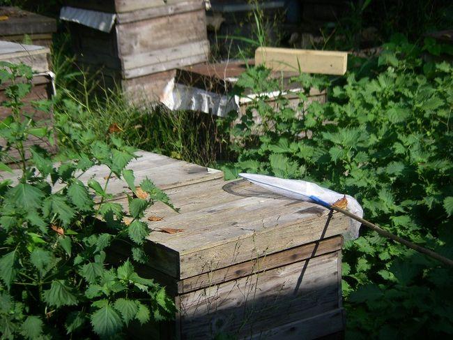 定光寺でやたらに農業共済新聞( http://www.nosai.or.jp/shinbun.php )の記事が貼ってある。なんだろうと思っていたが、よくよく見ると、近くに「丹羽養蜂場」があり日曜日だけはいつパン公開しているとのこと。ここでとれた国産100%のはちみつも売っているとのことで行ってみることにした。<br /><br />とはいえ、場所がわからないのでiPHONEでネットから電話番号を検索してナビに入力すると「セントレジャーGC定光寺」というゴルフ場のそば。ちょうど瀬戸にぬける道でもあることからナビに従いスタート<br /><br />ゴルフ場は左のわき道へというところを無視して最初に見気への道があるところを右折するとすぐだ。<br /><br />ここの意外といい!!!!<br />ハチだけでなく、ひきがえるからマムシまでまじかにみられるのだ。もちろん料金は無料<br />おじさんが気さくで楽しい!!!<br /><br />いろいろと蜂蜜の試食もさせてくれる。花の種類でこんなにちがうのかと驚く。最近のハチは西洋みつばちを使っているとのこと。しかし、ごくわずか日本ミツバチもいって、そのハチミツはまったく違う味がした。