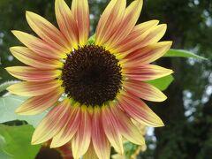 40年たっても新鮮な太陽の塔&ひまわり・・・・・万博公園にて
