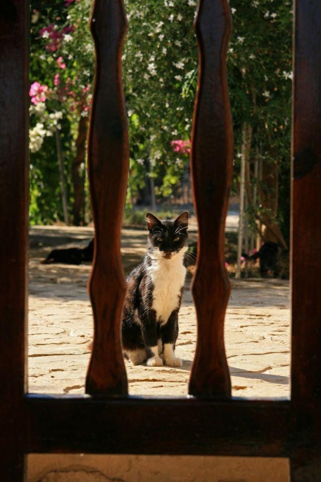 """***************************<br />2013/5/29追記<br />★キプロス共和国で撮った猫写真をグラビア4ページ掲載して頂きました!キプロスで出逢った猫の事、旅行エピソードなど稚拙ながら文章も全て書かせて頂きました。よかったら是非是非読んでやってください、よろしくお願いします<br />「ねこころ 2013年7月号」 /ケーズパブリッシング<br />http://item.rakuten.co.jp/neowing-r/neobk-1501115/?scid=af_pc_link_tbl&sc2id=251696621<br />***************************<br /><br />今日の目的はなんといっても憧れの猫修道院へ!<br />リマソールから南へ約10キロほど離れた場所にある<br />Agios Nikolaos ton Gaton(アギオス ニコラオス トン ガトン)<br />地球の歩き方では聖(アギオス)ニコラオス修道院とあるが現地では上の呼び方が一般的のようだ<br />ちなみにギリシャ語で猫の事を""""ガタ""""と言いAgios Nikolaos ton Gatonは直訳で""""猫の修道院""""という意味。<br />今回キプロス共和国リマソールを訪問しようと思ったきっかけがまさにこの名前だけでワクワクする猫修道院。<br />それに旅程も短い中でたくさんのキプロス猫に一気に出会いたかったら此処にくれば間違いないだろうと思ったし!(動機が不純?)<br /><br />この修道院には200匹近い猫が放たれていると言われており、大昔干ばつで増えた蛇を退治するために猫達が放たれたとの事<br />猫達は蛇退治という重大任務を果たしてくれる頼もしき存在だったのであろう。<br />蛇退治だなんて小さな虫でさえボーっと眺めるしか出来ないうちの飼い猫からは想像もつかないが・・<br />だがしかし、1日目にも書いたがキプロス共和国の公共交通機関はまだまだ観光客向けに整備されているとは言い難く日本で自分なりにここへのアクセス方法を調べつくしたがバスや現地ツアーみたいなものは見つからなかった。(日本からのパッケージ旅行で猫修道院が組み込まれてるツアーはあるようだったが)<br />運転免許を持っておらずレンタカーを運転できない私にとっては少々不便をしいられる。逆に運転さえ出来ればキプロスは日本と同じ右ハンドル左側通行らしいので便利だったでしょうね〜<br />とにかくタクシーチャーターか?レンタサイクルか?歩くか??位しか選択肢がなかったわけで。<br />実際に自転車で此処へ行かれたという元リマソール在住の方に出発前色々と教えて頂き、がんばってレンタサイクルで行ってみようと決意し当日朝早速リマソールのインフォーメーションを訊ねてはみたのだが・・<br /><br />続きは本編でどうぞ〜<br /><br />≪今回の旅行記一覧≫<br />2010/9/17<br />地中海猫探しの旅◎リマソール1日目CyprusCATSの歓迎◎<br />http://4travel.jp/traveler/europeomu/album/10508942/<br />2010/9/18<br />地中海猫探しの旅◎リマソール2日目 憧れの猫修道院◎<br />★今ご覧頂いてる旅行記です★<br />2010/9/18<br />地中海猫探しの旅◎リマソール2日目つづき 遺跡とかやっぱり猫とか◎http://4travel.jp/traveler/europeomu/album/10510210/<br />2010/9/19<br />地中海猫探しの旅◎Malta1日目 Sliema夜の公園猫探し◎<br />http://4travel.jp/traveler/europeomu/album/10511201/<br />2010/9/20<br />地中海猫探しの旅◎Malta2日目 ヴィットリオーザの街を歩く◎<br />http://4travel.jp/traveler/europeomu/album/10514140/<br />2010/9/20<br />地中海猫探しの旅◎Malta2日目つづき 猫大漁◎<br />http://4travel.jp/traveler/europeomu/album/10514149/<br /><br />***************************<br />★告知★写真展開催 (2011/4/6追記)<br />【マルタねこ2】― 地中海ねこ探しの旅2010 ―<br />All photo by.omu<br />"""